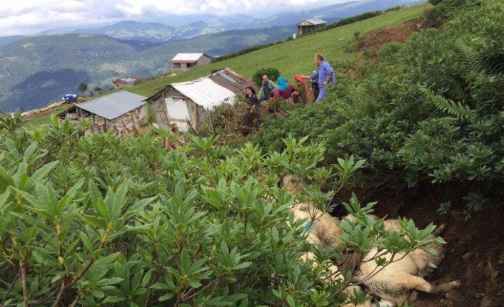 Ordu'da yayladaki dar yolda sıkışarak havasız kalan 122 koyun telef oldu