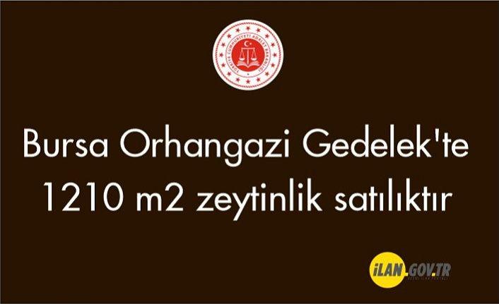 Orhangazi Gedelek'te 1210 m2 zeytinlik satılıktır