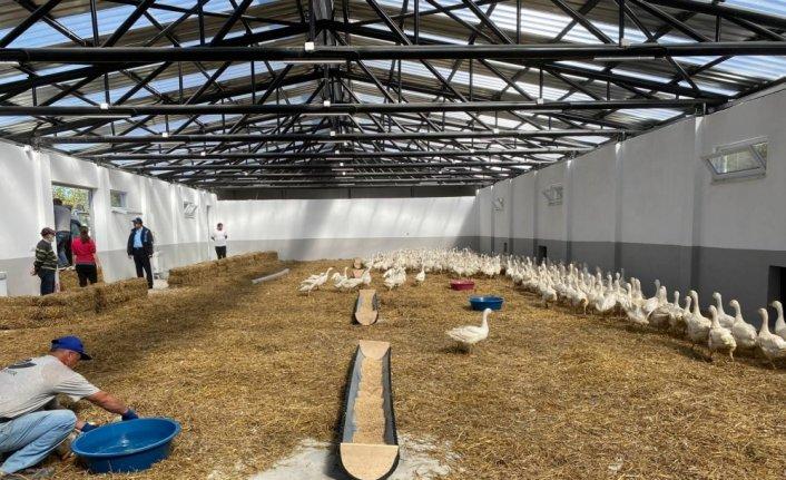 Karabük'teki üretim çiftliğinde yetiştirilen 600 kaz palazı kursiyerlere dağıtılacak