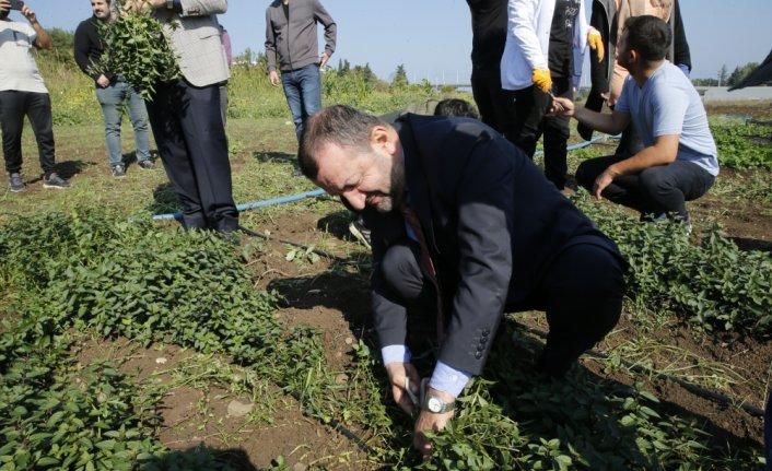 Ondokuz Mayıs Üniversitesinde tıbbi ve aromatik bitkilerin hasadına başlandı