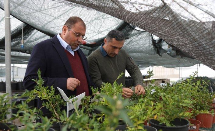 Şimşir bitkisinin genetiği koruma altına alındı