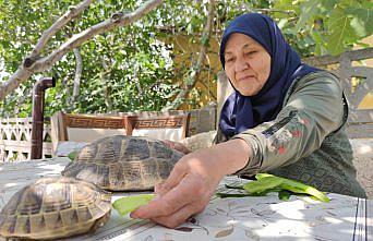 Amasyalı 71 yaşındaki Zekiye Artut bahçesindeki 3 kaplumbağaya özenle bakıyor: