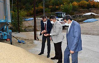Karabük'te çeltik hasadı sürüyor