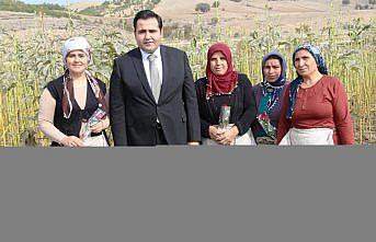 Taşova Kaymakamı Gökcecik kadın çiftçilerle çiçek bamyası topladı