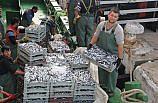 Balıkçıların hamsi avından umudu kalmadı