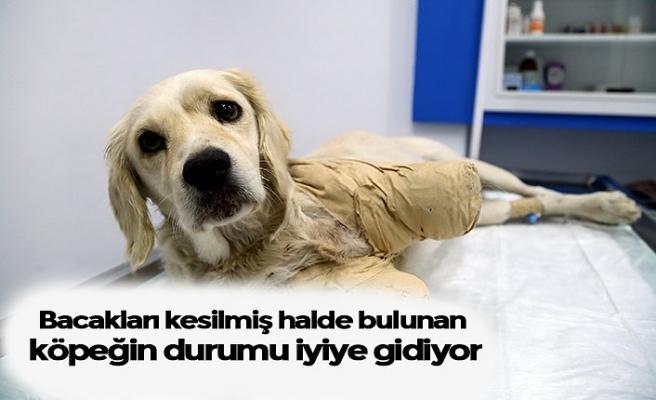 Bacakları kesilmiş halde bulunan köpeğin durumu iyiye gidiyor