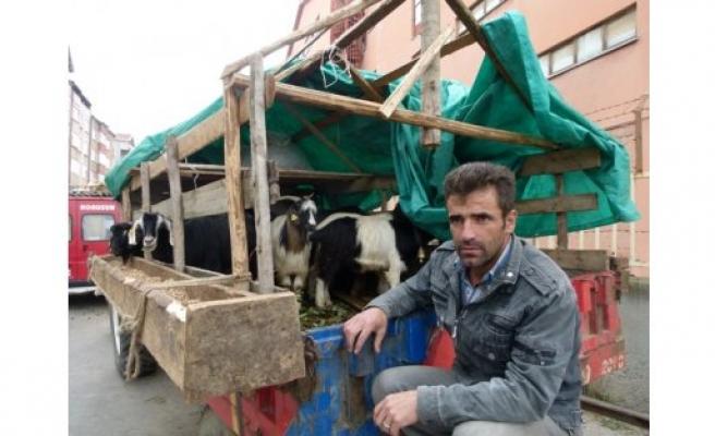 Keçilerin Kurbanlık Satış Fiyatı 500 ile 700 Arası