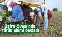 Bafra Ovası'nda tütün ekimi başladı