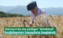 """Samsun'da ata yadigarı """"karakılçık"""" buğdayının hasadına başlandı"""