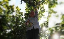 80 yaşında fındık hasadı yapan Muhittin dede çalışma azmiyle örnek oluyor