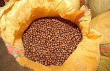 Karadeniz'de orta ve yüksek rakımlı yerlerden hasat edilen fındığın randımanı sevindirdi