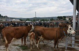 Boyabat'ta canlı hayvan pazarı 3 ay aradan sonra...