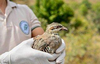 Giresun'da doğaya bin kınalı keklik salındı