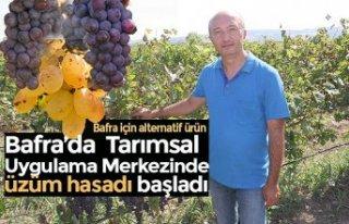 Bafra'da Tarımsal Uygulama Merkezinde üzüm...