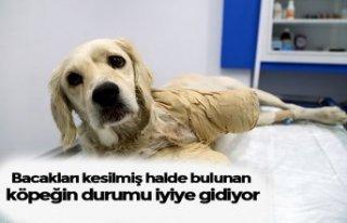 Bacakları kesilmiş halde bulunan köpeğin durumu...