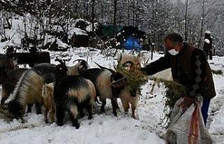 Artvin'de yaylacılar kar yağışı üzerine köylere...