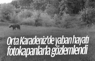 Orta Karadeniz'de yaban hayatı fotokapanlarla...
