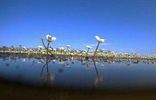 Kızılırmak Deltası'nda suda açan çiçekler...