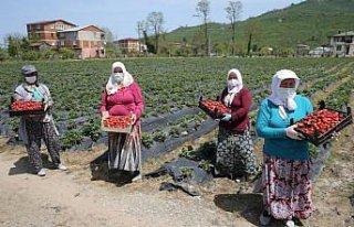 Fındık diyarı Ordu'da çilek hasadına başlandı