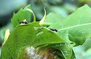 Zonguldak'ta gal arısına karşı mücadele edecek...