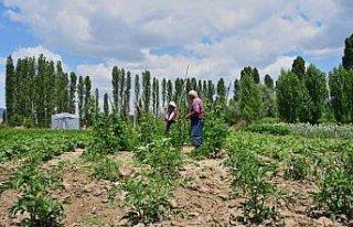 Emekli olup döndüğü köyünde organik tarıma...