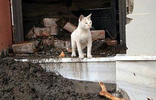 Bozkurt'taki sokak hayvanları selde kaybolan