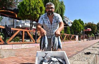 Karadeniz'de sezonun ilk palamutları Sinop'ta tezgahlardaki...
