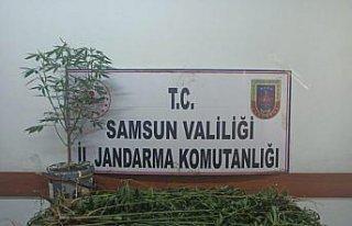 Samsun'da uyuşturucu operasyonunda 33 kök Hint keneviri...