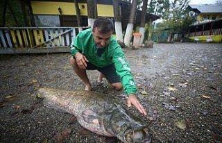 Düzce'de amatör balıkçının oltasına 51 kilogramlık...