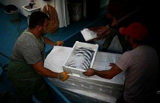Düzce'de balıkçılar limana binlerce palamutla...
