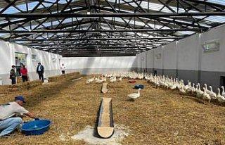 Karabük'teki üretim çiftliğinde yetiştirilen...