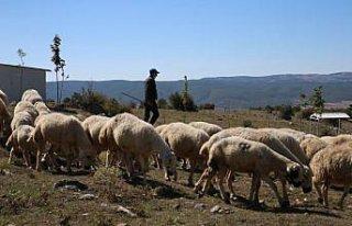 Tokat'ta, küçükbaş hayvancılıkta Türkiye'ye...