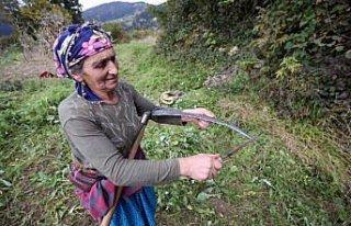 """Doğu Karadeniz'in çalışkan kadınları """"güz""""..."""