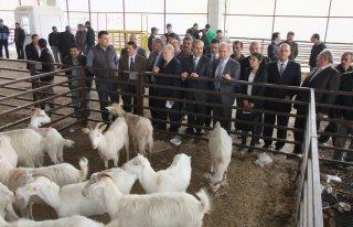 Bafra'da 143 adet Saanen keçisi dağıtıldı