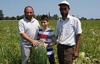 Bafra'da 35 Kilo Ağırlığında Karpuz Üretildi