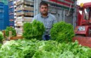 Yerli Kıvırcık Marulu Gürcistan'a İhraç Ediliyor