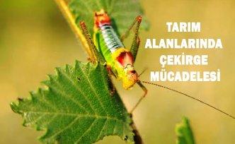 TARIM ALANLARINDA ÇEKİRGE MÜCADELESİ
