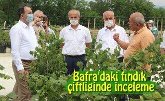 Bafra'daki fındık çiftliğinde inceleme