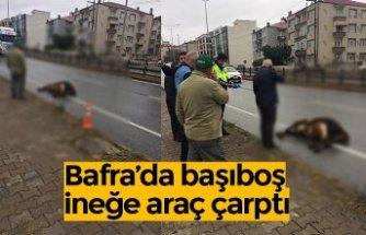 Bafra'da başıboş ineğe araç çarptı