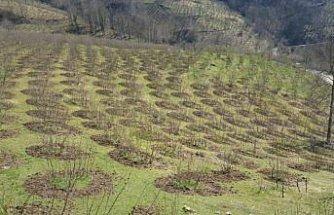 Ordu'da 3 bini aşkın örnek fındık bahçesi hem üreticiye hem il ekonomisine kazandırıyor