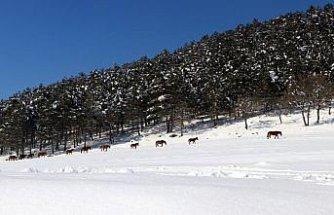 Bolu Dağı'ndaki yılkı atlarına yem bırakıldı