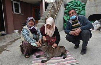 Sinop'ta 10 kilogram doğan cüce buzağıya evde özenli bakım