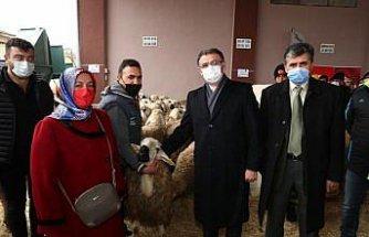 Tokat'ta çiftçilere 180 damızlık koç dağıtıldı