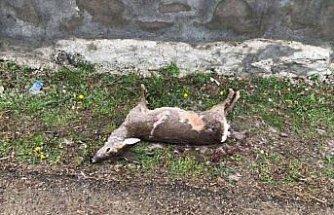 Bartın'da gebe karacayı öldüren kaçak avcının yakalanması için çalışma başlatıldı