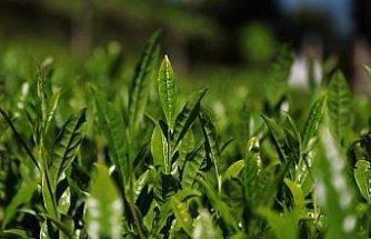 Doğu Karadeniz'de yaş çay hasadı 17 Mayıs'ta başlayacak