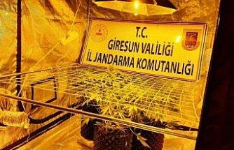 Giresun'da kamu arazisinde kenevir yetiştiren 2 kişi gözaltına alındı