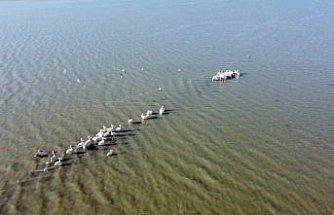 Ladik Gölü pelikanların gelmesiyle şenlendi