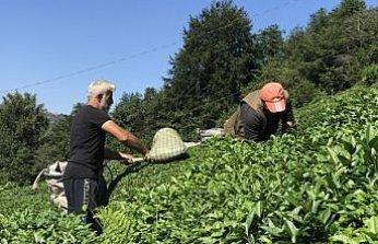 Doğu Karadeniz'de birinci sürgün yaş çay hasadı başladı