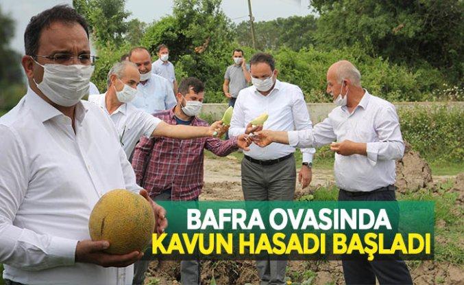 BAFRA OVASINDA KAVUN HASADI BAŞLADI