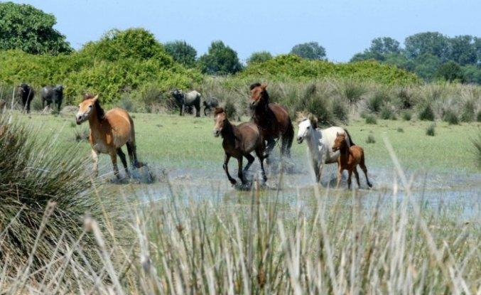 Kızılırmak Deltası'ndaki yılkı atları ziyaretçilerin ilgisini çekiyor